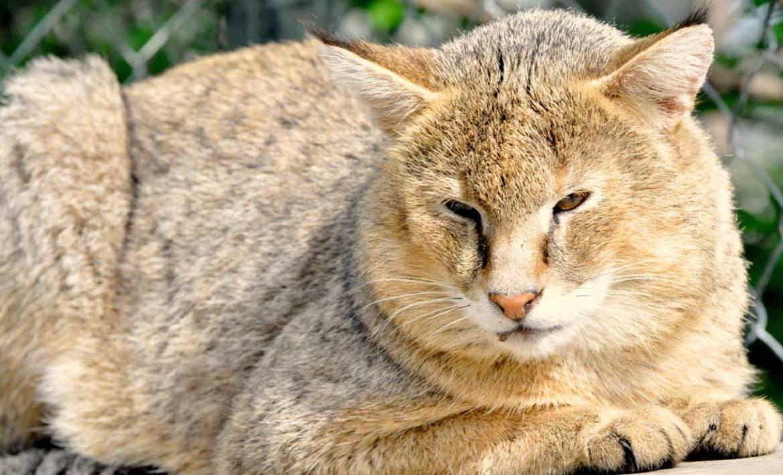 Камышовый кот: фото с описанием и цена, жизнь в дикой природе и домашних условиях