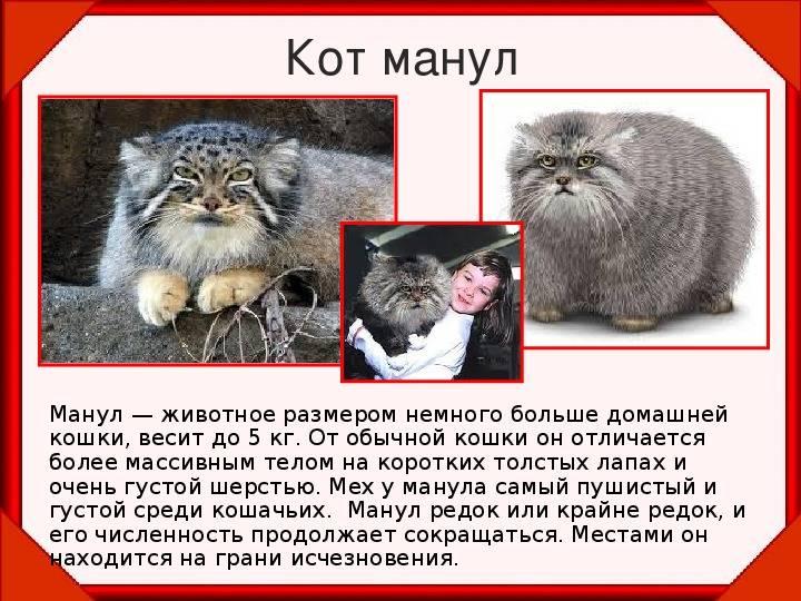 Варианты содержания кота манула в домашних условиях: размеры и вес, породы
