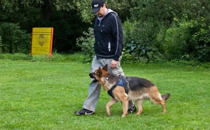 Воспитание щенка немецкой овчарки, дрессировка в домашних условиях, правила ухода и выбор щенка