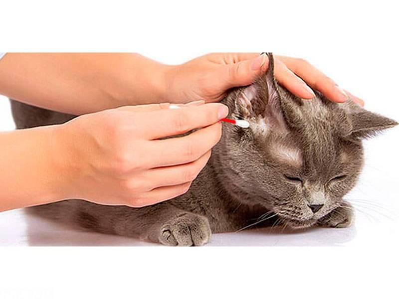 Если у кошки горячие уши: нормальное явление или стоит волноваться?