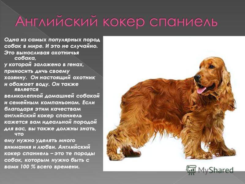 Русский охотничий спаниель: фото, описание породы, характер. питомники, где можно купить щенка