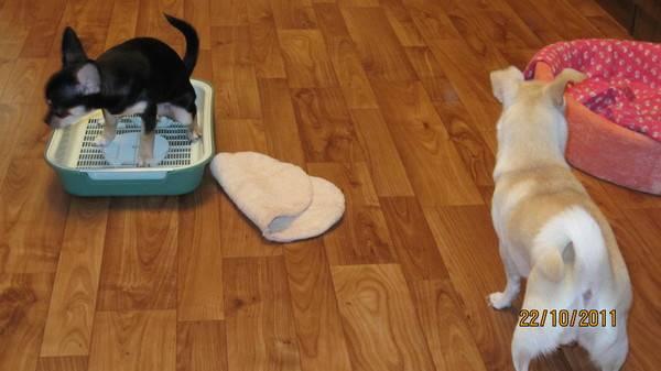 Как приучить щенка ходить в туалет на пеленку: эффективные меры обучения, возможные ошибки, что делать, если щенок не писает на пеленку
