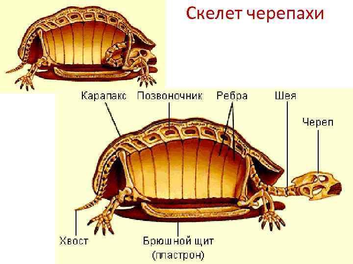 Строение пищеварительной и выделительной системы черепах
