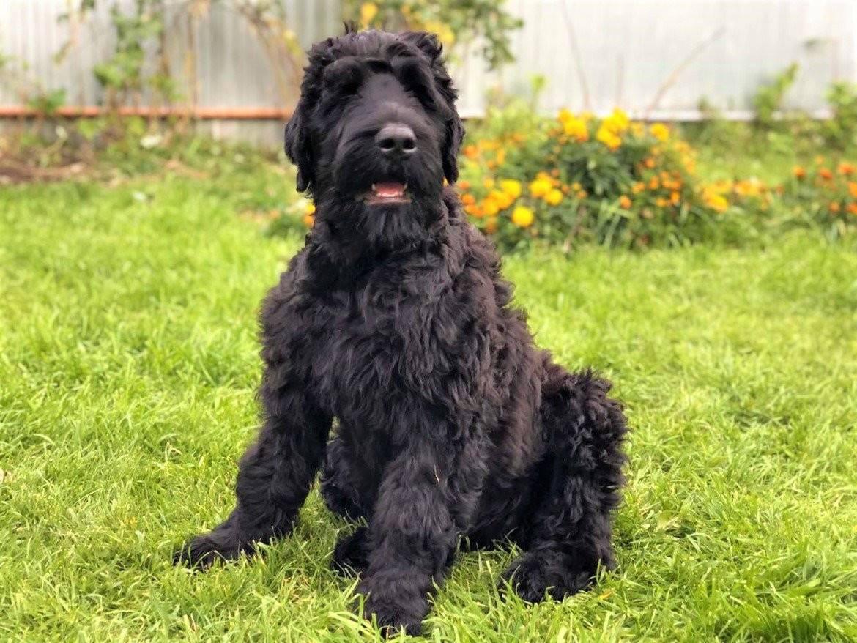 Русский черный терьер: описание породы и характер собаки