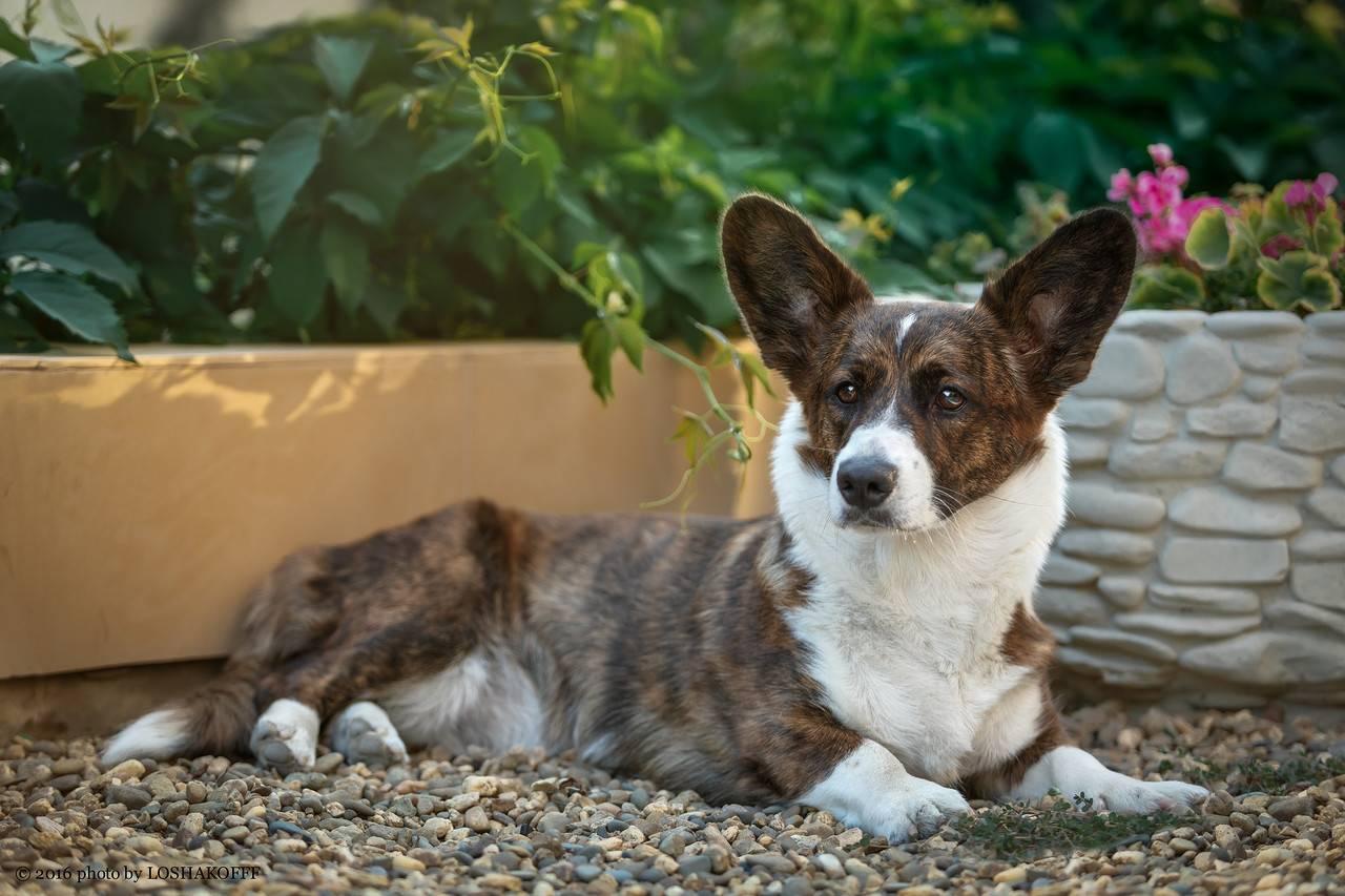 Описание породы собак вельш-корги-кардиган: характер, уход, предназначение