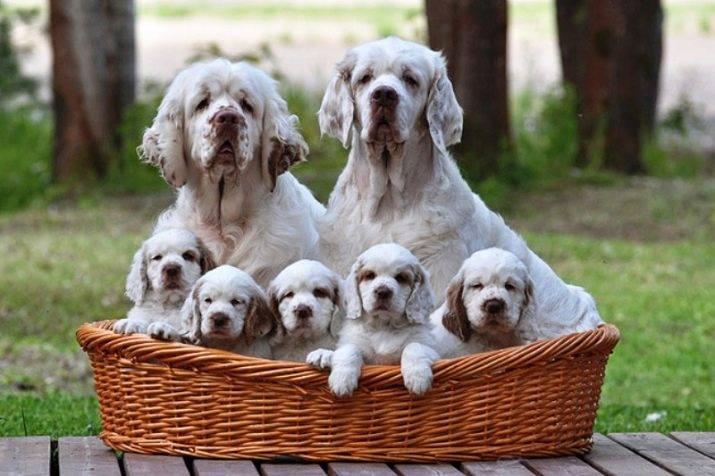 Кламбер-спаниель: описание породы собак с фото и видео