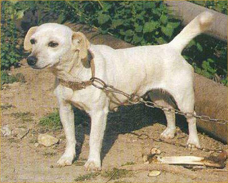 Интересное о малой греческой домашней собаке алопекис: стоимость щенка