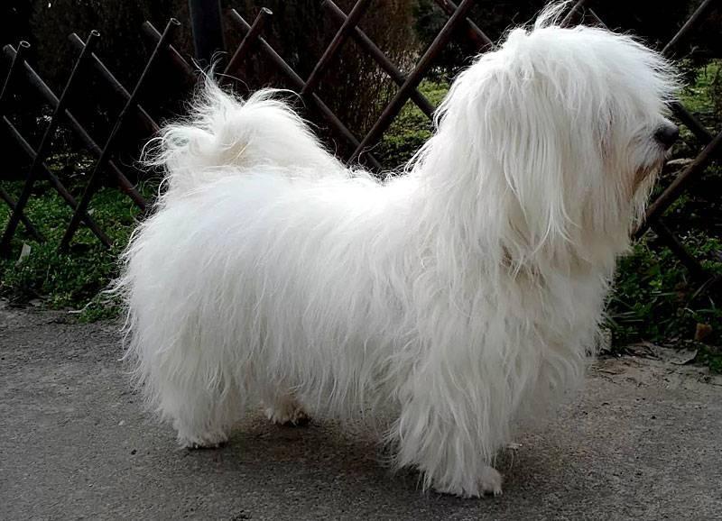 Одесская порода собак одис: история и содержание