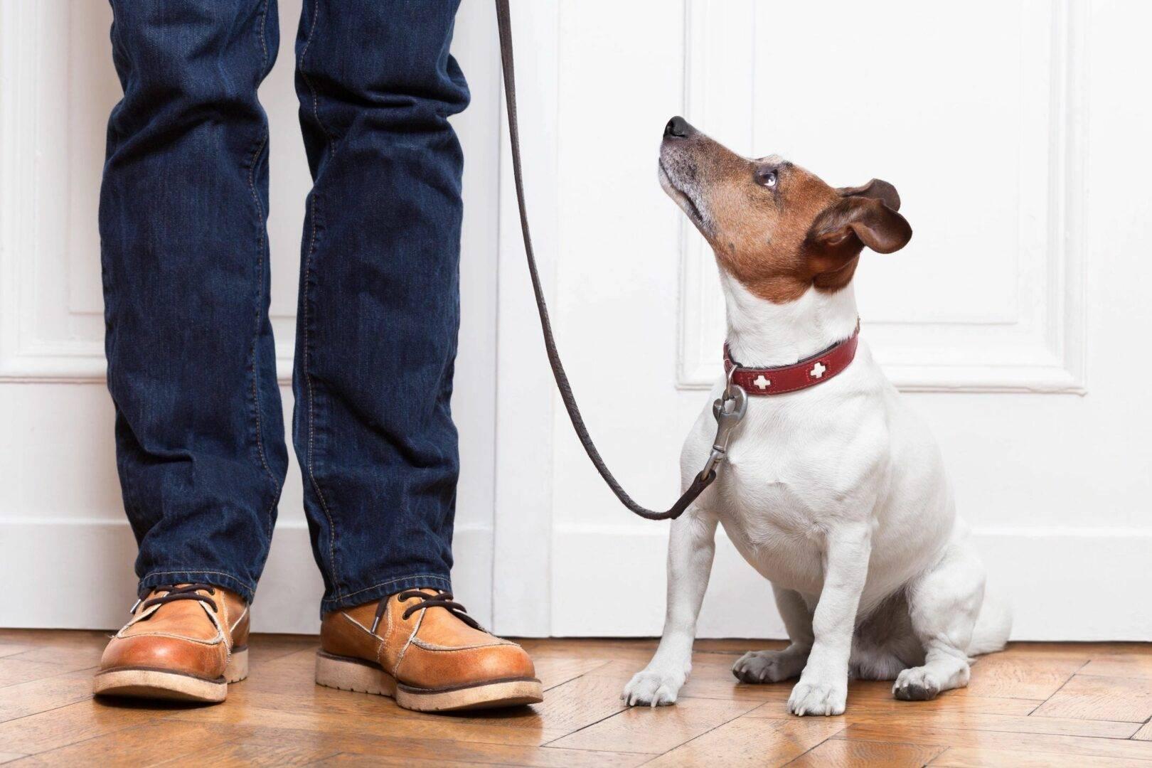 Дрессировка джек рассел терьера — этапы воспитания щенка ⋆ собакапедия