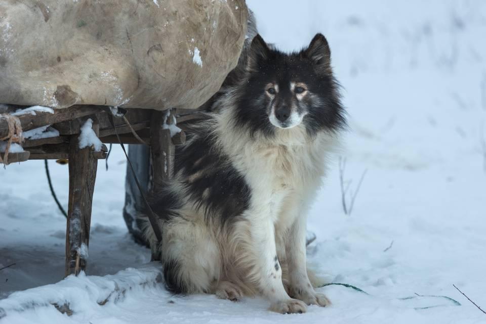 Ненецкая оленегонная лайка - породы лаек - собаководство - собственник