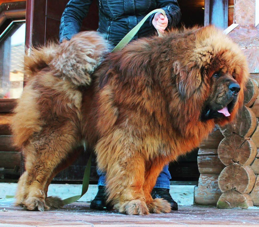Вес и рост тибетского мастифа по месяцам - вес щенков и взрослой собаки, таблица - petstime.ru