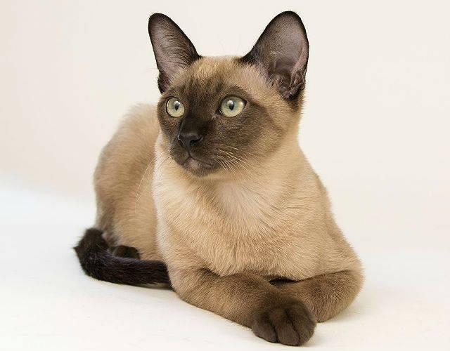 Тонкинская кошка: описание породы, характер, советы по содержанию и уходу, фото тонкинезов