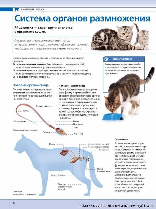 Вязка кошек в первый раз: подготовка и проведение