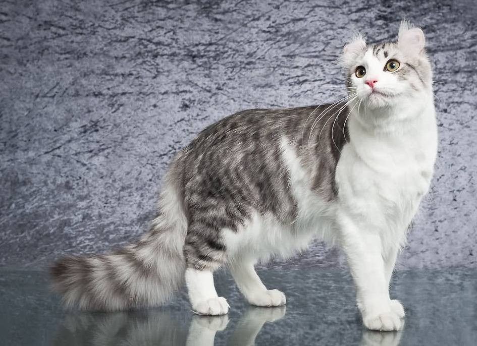 Американская короткошёрстная кошка - характер, фото, цена