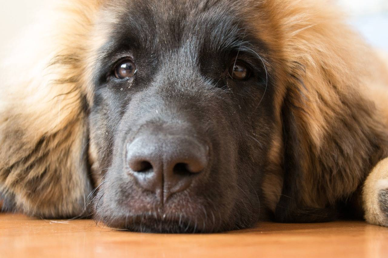 Леонбергер: характер собаки, особенности ухода и советы по выбору щенков (100 фото)