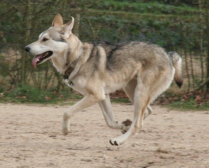 Кеесхонд (вольфшпиц): фото собак, описание стандарта породы и его характеристик, чем кормить кеесхонда