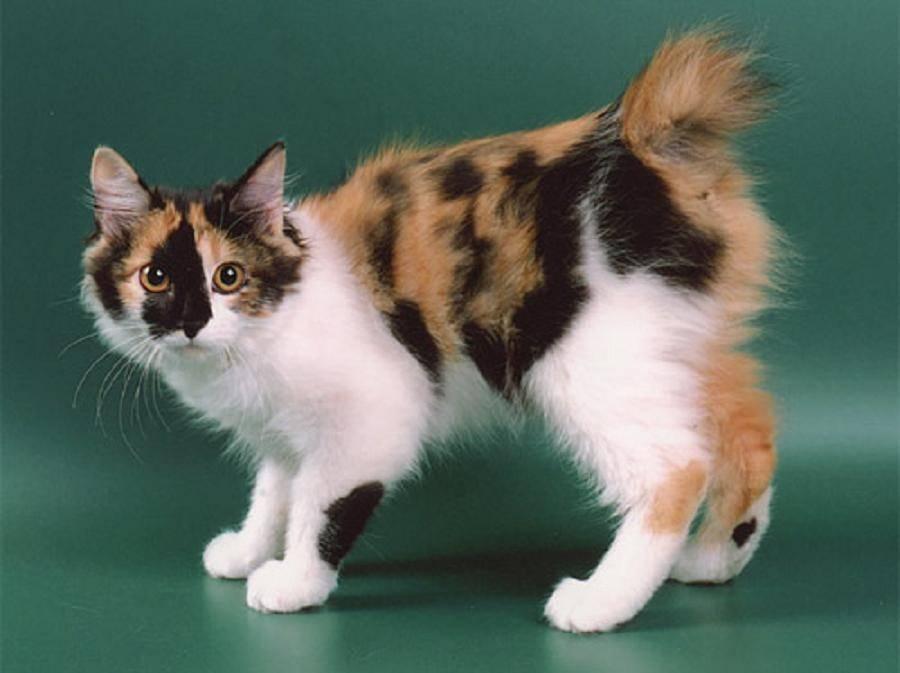 Кошка японский бобтейл: стандарты внешности породы и характер котов