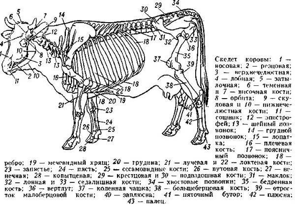 Анатомия сельскохозяйственных животных