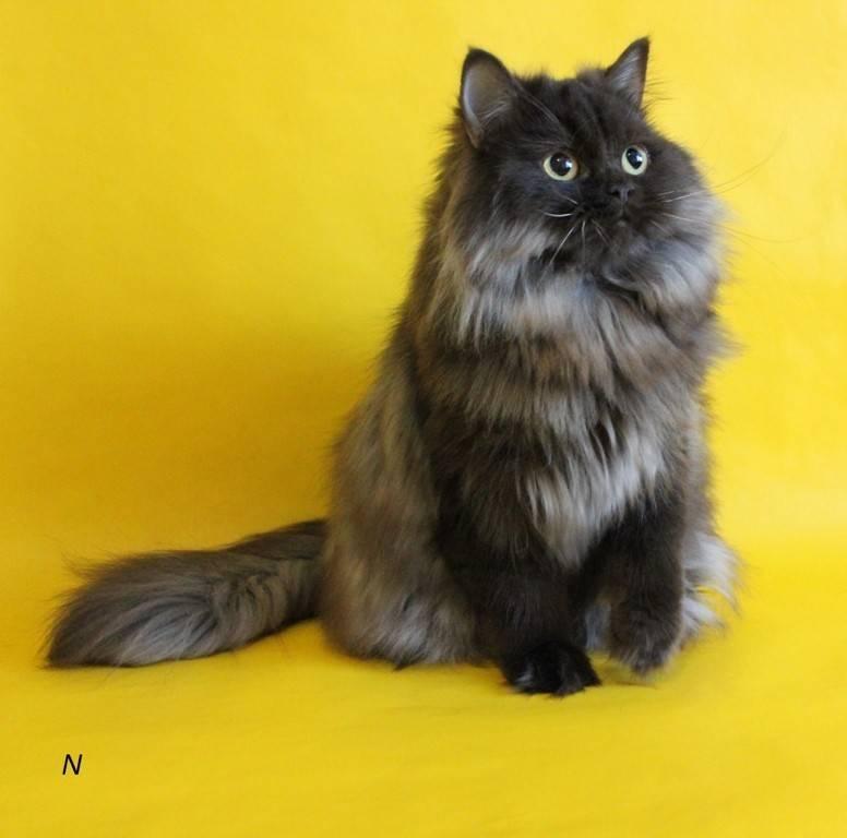 Хайленд страйт-шотландская прямоухая длинношерстная кошка, фото
