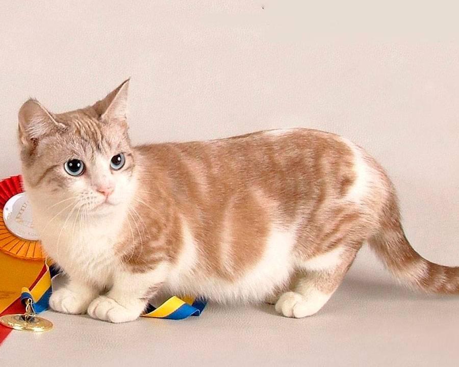 Какие есть породы кошек с короткими лапами