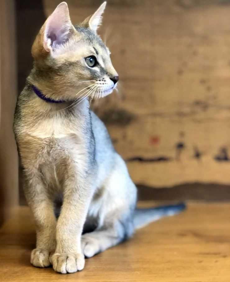 Шаузи (хауси) кошка: подробное описание, фото, купить, видео, цена, содержание дома