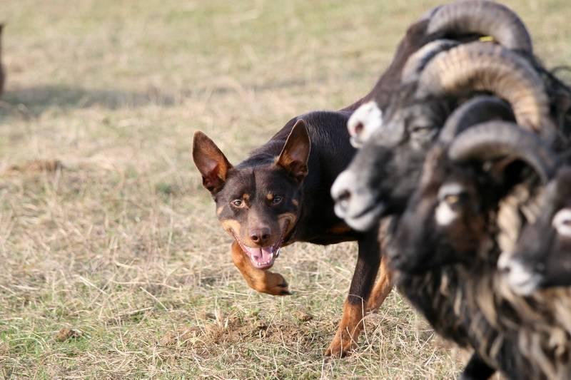 Австралийская овчарка (аусси) – качества породы: внешний вид и характер собаки, условия содержания, уход и дрессировка