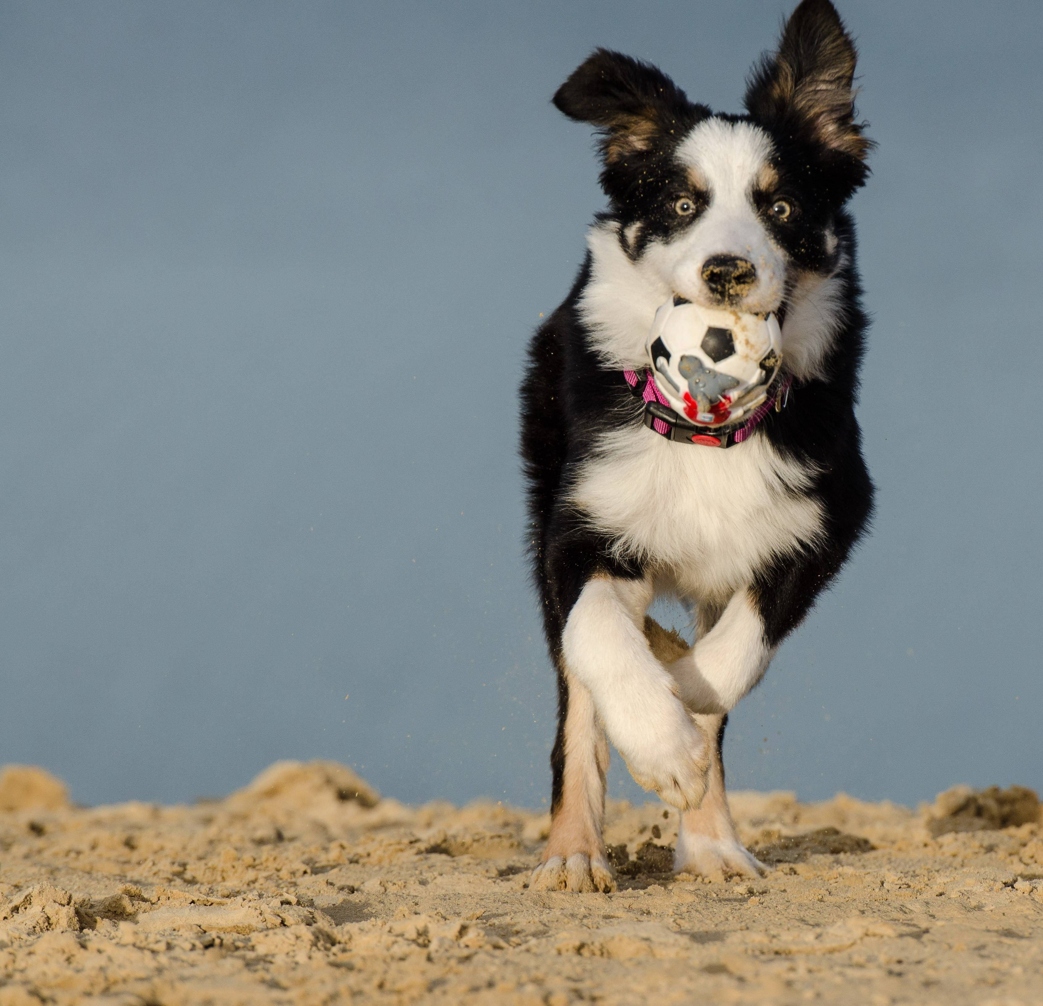 Рейтинг собак по интеллекту или самые умные породы собак