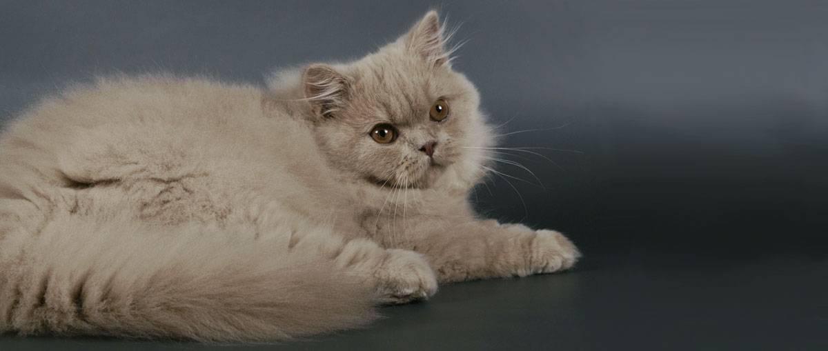 Британская короткошёрстная кошка: описание породы, часто ли течка, внешность и характер, фото британца, уход, кормление и повадки котёнка