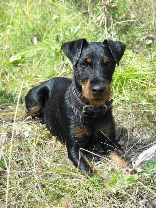 Немецкий ягдтерьер — если маленький, то еще совсем ничего не значит… ⋆ собакапедия
