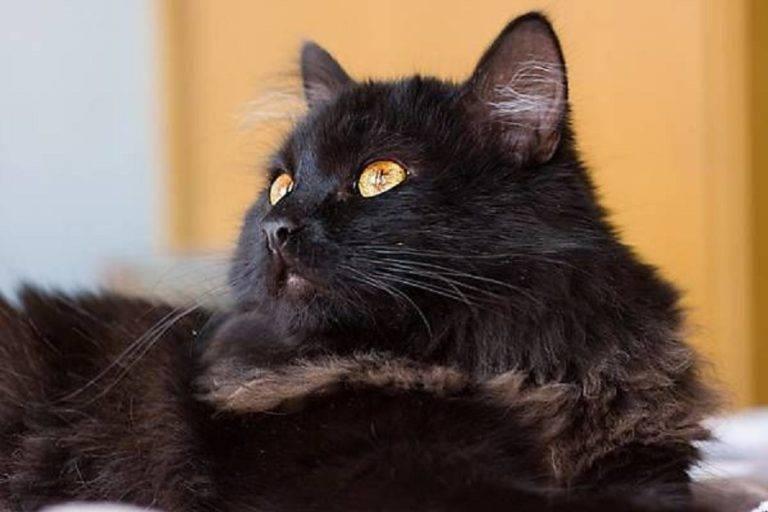 Все о породе котов шантильи тиффани: внешний вид и особенности характера