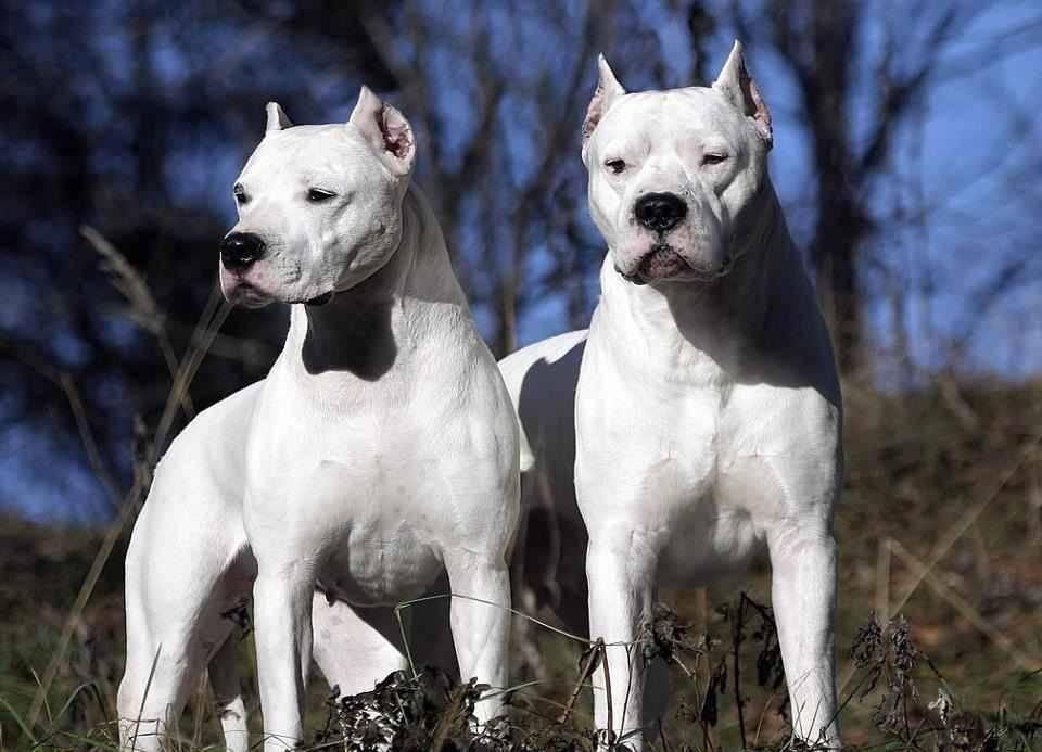 Аргентинский дог, характеристика породы, правила ухода, выбор щенка