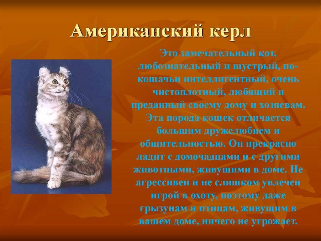 Американский керл: описание породы кошек, характер, цена, уход  - mimer.ru