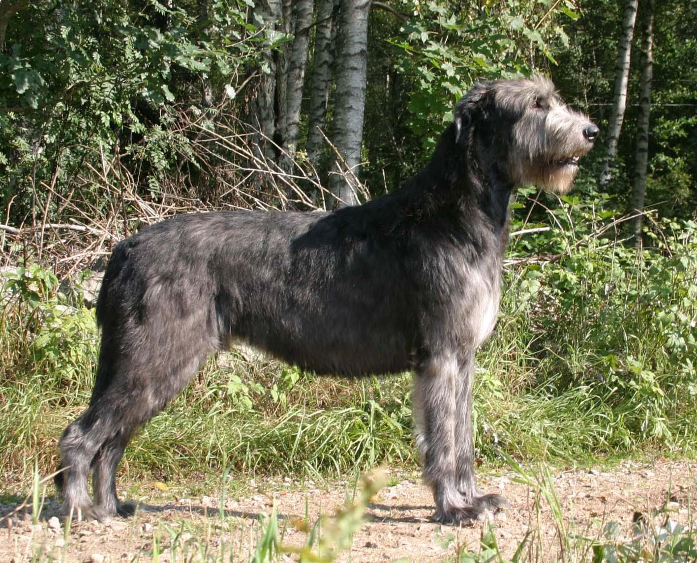 Отважные защитники или опасные хищники: гибрид собаки и волка — волкособ