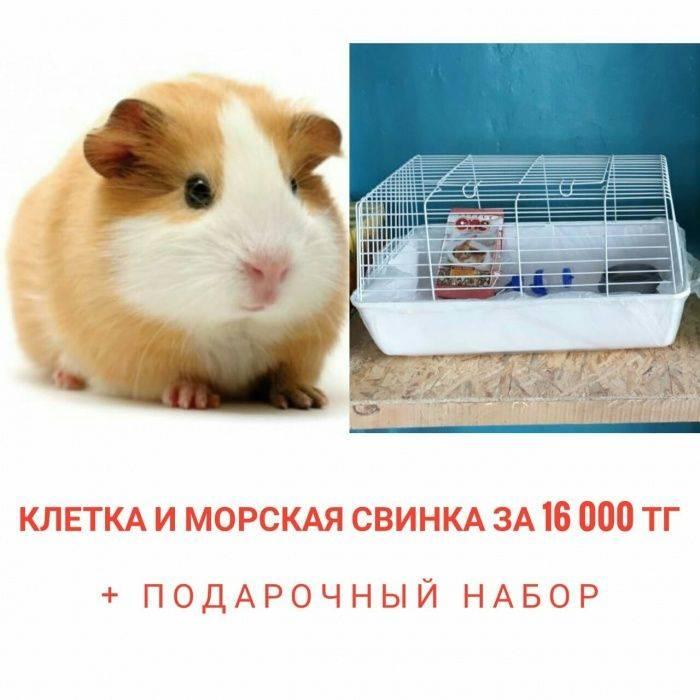 Розеточная свинка (морская): уход и содержание в домашних условиях