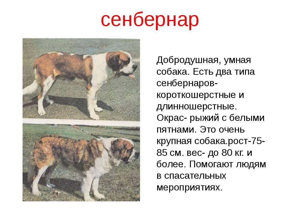 Сенбернар: фото собаки, описание породы