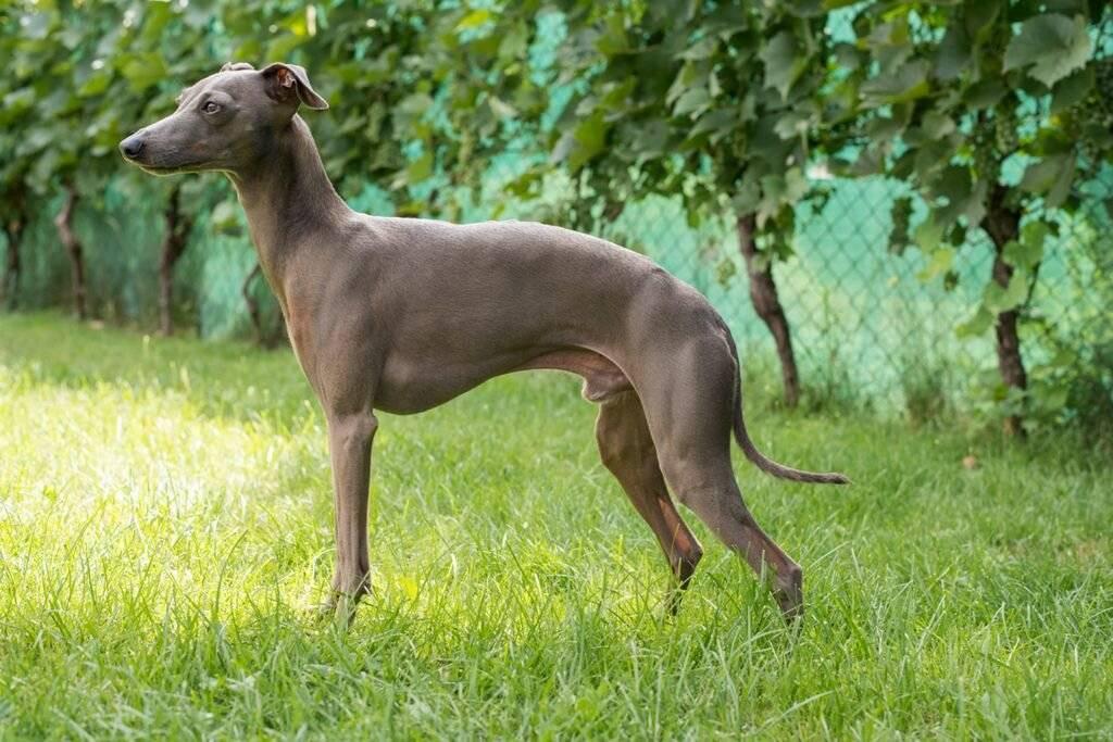 Левретка собака. описание, особенности, уход и цена левретки | sobakagav.ru