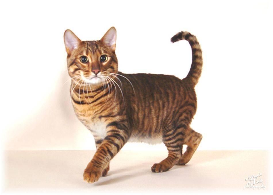 Кошки » породы » тойгер
