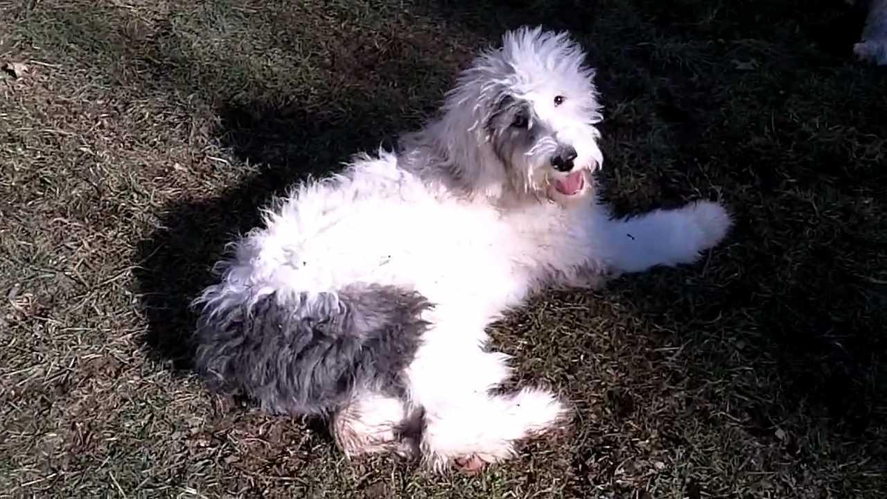Английский пойнтер: все о собаке, фото, описание породы, характер, цена