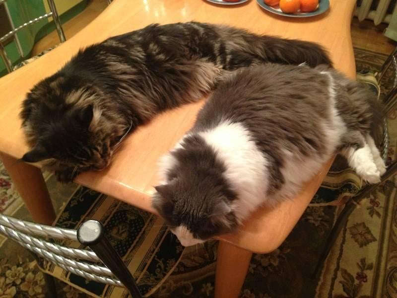 Как отучить кошку лазить по столам.