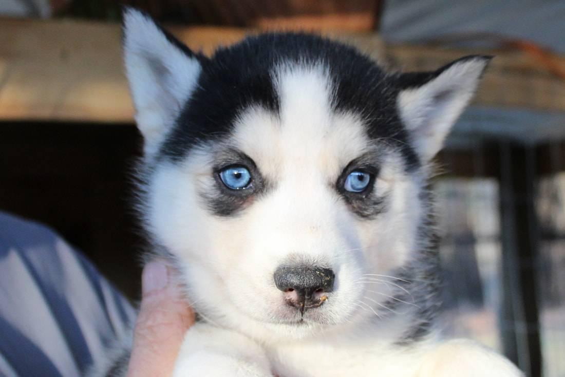 Хаски: белые, черные, коричневые, серые, рыжие и собаки другого окраса, цвет глаз, фото, характеристика сибирской породы, размер и рост, стандарты щенков и взрослых