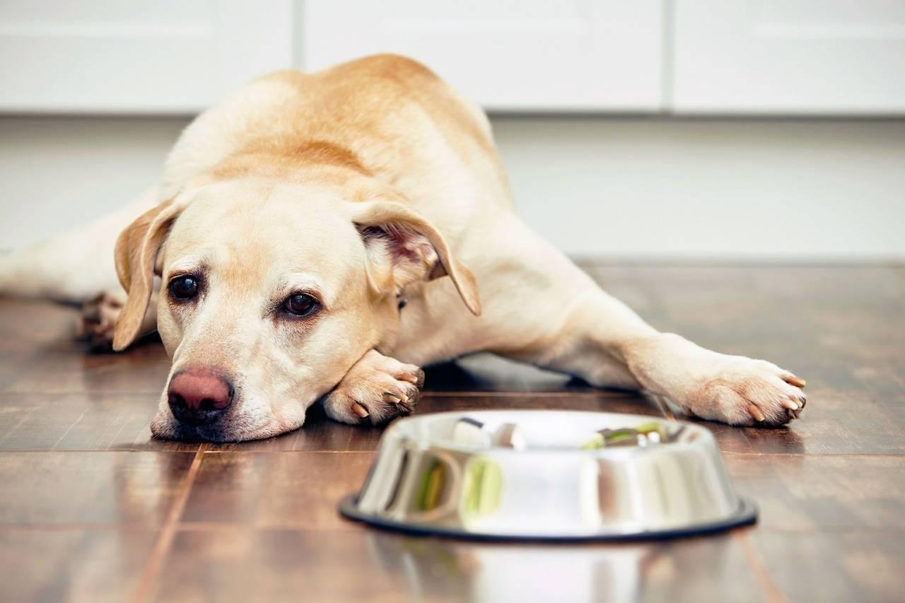 Собака отказывается от еды: возможные причины и способы оказания помощи