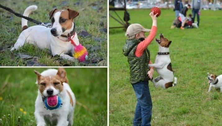 Джек-рассел-терьер: дрессировка и воспитание щенка, уход за ним