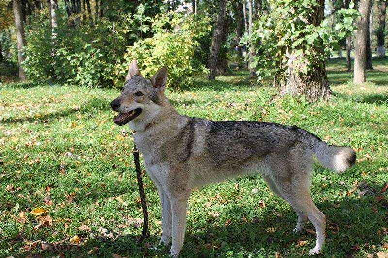 Сарлосская волчья собака: красив, но спесив
