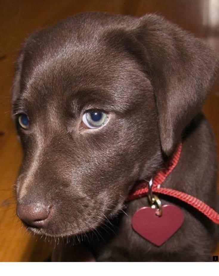 Шоколадный лабрадор - фото и описание собаки. история, цвет глаз и характер шоколадного лабрадора. - petstime.ru