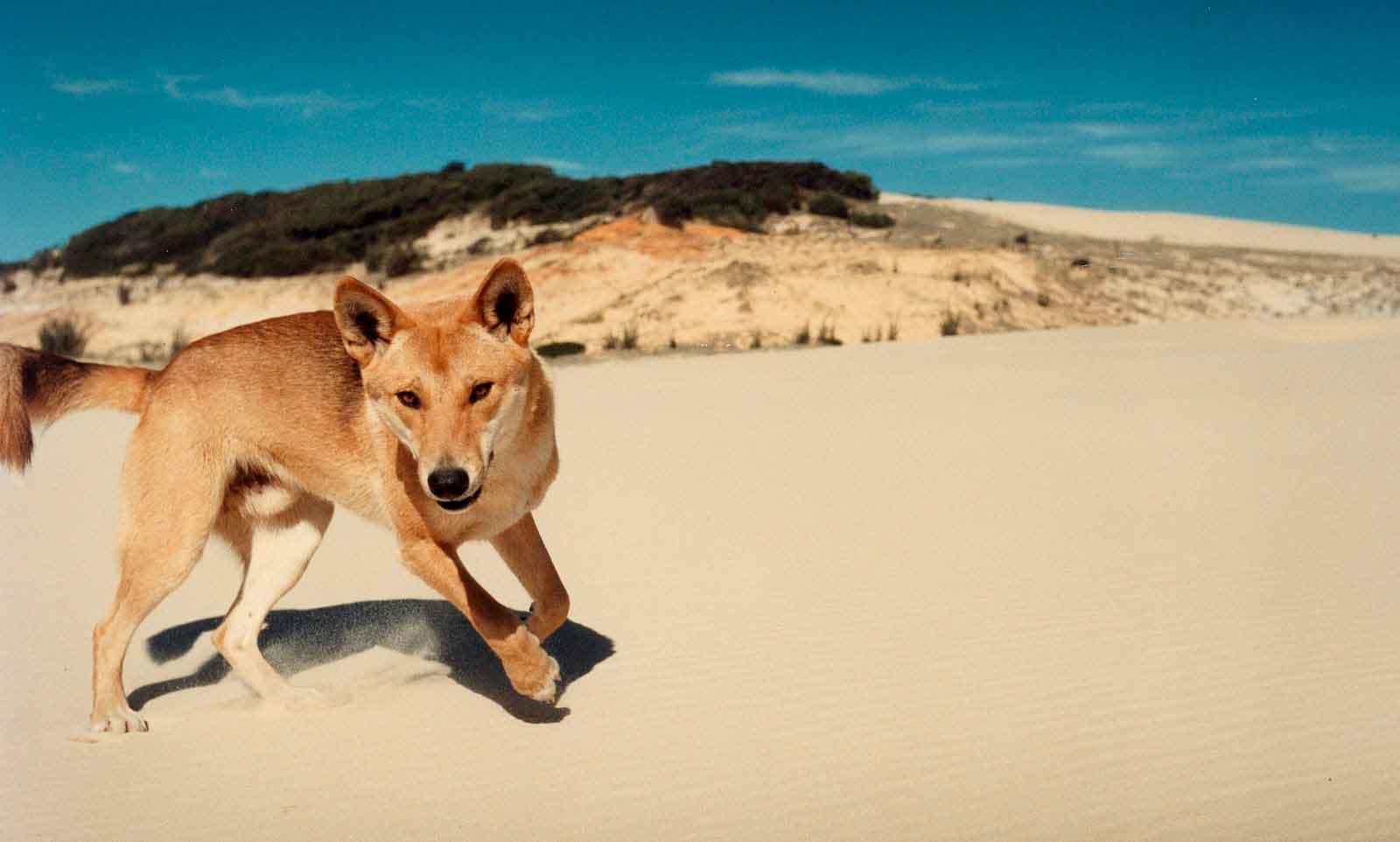 Австралийский динго: фото, описание породы, характеристики