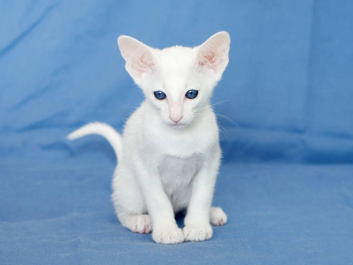 Топ-10 пород кошек с голубыми глазами