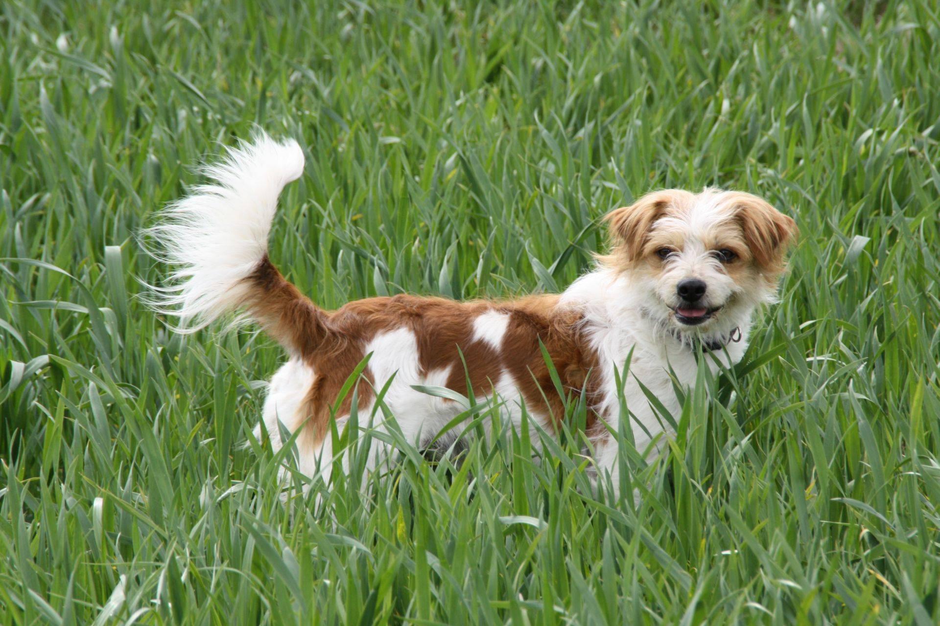 Леонбергер собака. описание, особенности, уход и цена леонбергера | sobakagav.ru