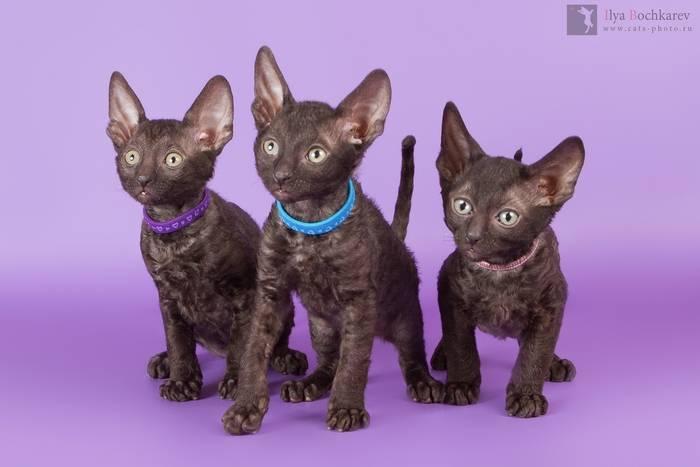 Корниш-рекс: 25 фото, цена котенка, описание породы, характер кошек