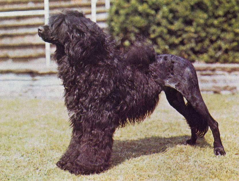 Португальская водяная собака — знаменитые водные животные ⋆ собакапедия