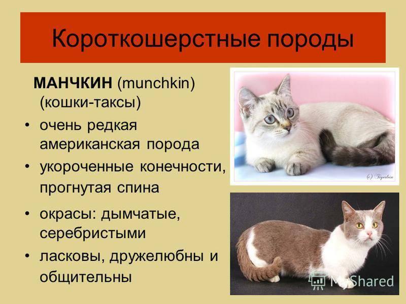 Европейская короткошерстная кошка: описание, фото, характер